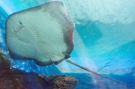 Blue Reef Aquarium Stingray